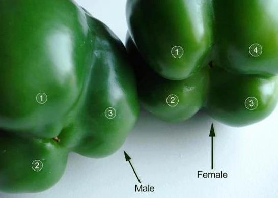How to pick your Peppers